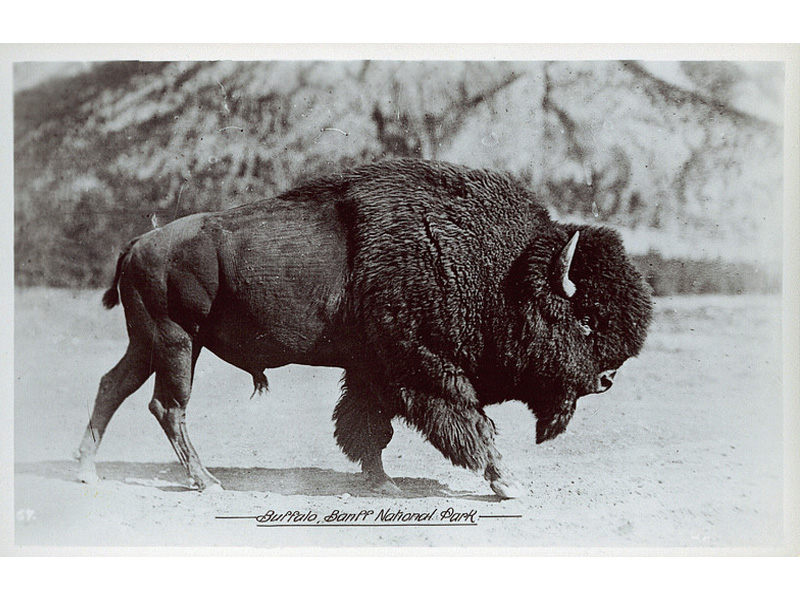 Postcard of a buffalo in Banff National Park