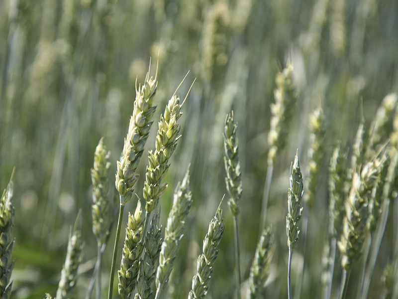 A photo of Close up of wheat blowing in the wind