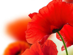 A photo of poppies