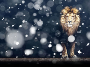A photo illustration of a lion in snow