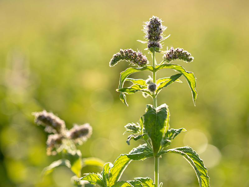 Image of wild mint blooms, non-cultivated plantsin daylight