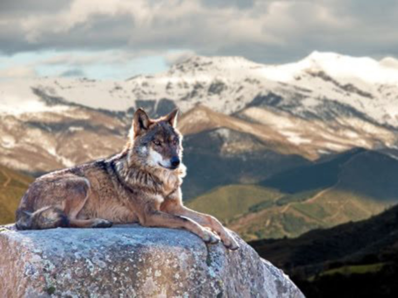A photo of a wolf in Banff National Park
