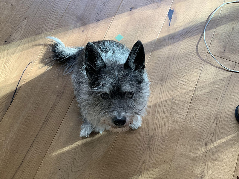 Scout, a small grey dog, looking very displeased